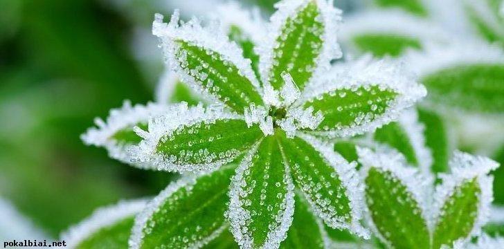 augalai-ziema-69504828