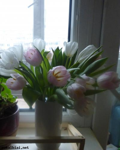 baltos ir švelniai ružavos tulpytės