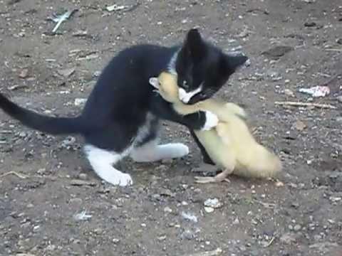 Бой,котенок vs индоутка,жесть,ржач,прикол 2013 с